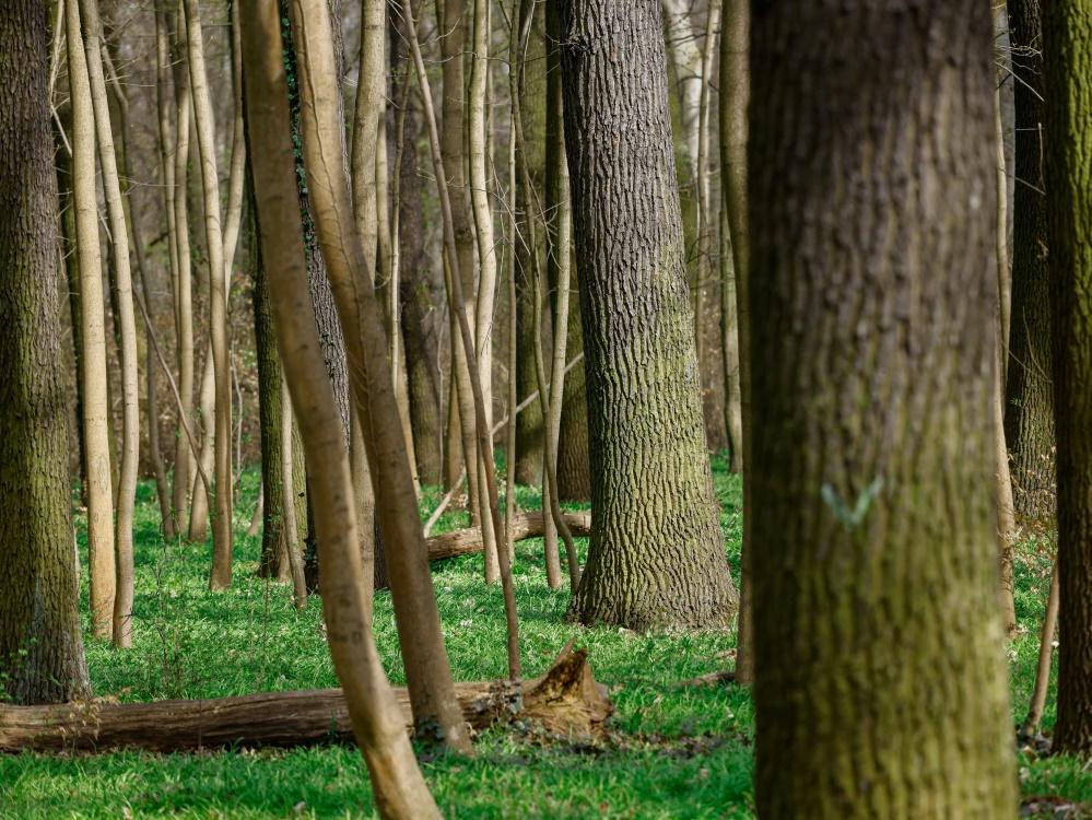 Union will Bäume in den Wäldern von Köpenick pflanzen (© AFP/SID/DAVID GANNON)